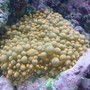 corals inverts - ricordea yuma - flower / ricordea mushroom, green stocking in 30 gallons tank - Ricordea
