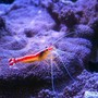 corals inverts - lysmata amboinensis - scarlet skunk cleaner shrimp stocking in 150 gallons tank - cleaner shrimp on montipora undata