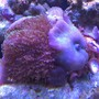 corals inverts - actinodiscus sp. - blue mushroom stocking in 72 gallons tank - Blue Mushrooms