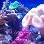 corals inverts - sarcophyton sp. - toadstool mushroom leather coral stocking in 72 gallons tank - Giant Toadstool