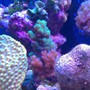 corals inverts - montipora verrucosa - montipora coral, dimpled encrusting stocking in 72 gallons tank - Green & pink SPS