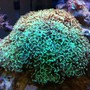 corals inverts - euphyllia ancora - hammer / anchor coral stocking in 56 gallons tank - The Hammer