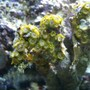 corals inverts - zoanthus sp. - green polyps stocking in 75 gallons tank - 7