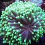corals inverts - euphyllia glabrescens - torch coral stocking in 150 gallons tank - Green torch