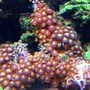 corals inverts - zoanthus sp. - colony polyp, sunrise supernova stocking in 45 gallons tank - zoanthids