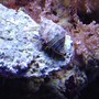 corals inverts - calcinus elegans - electric blue hermit crab stocking in 55 gallons tank - Blue leg