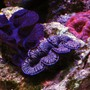 corals inverts - tridacna maxima - maxima clam stocking in 105 gallons tank - Clams