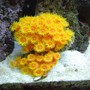corals inverts - tubastrea faulkneri - orange sun coral stocking in 30 gallons tank - sun coral