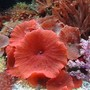 corals inverts - actinodiscus sp. - red mushroom stocking in 150 gallons tank - one of my very red mushrooms