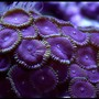 corals inverts - palythoa sp. - purple people eater stocking in 125 gallons tank - Palys (PPE's) (Purple People Eaters)