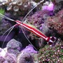 corals inverts - lysmata amboinensis - scarlet skunk cleaner shrimp stocking in 20 gallons tank - Skunk shrimp