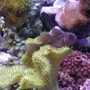 corals inverts - sarcophyton elegans - yellow fiji leather coral stocking in 20 gallons tank - Yellow Citron Goby