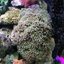 corals inverts - euphyllia ancora - hammer / anchor coral stocking in 160 gallons tank - Hammer Coral