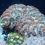 corals inverts - acanthastrea lordhowensis - aussie acan lord stocking in 29 gallons tank - acan