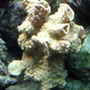 corals inverts - turbinaria sp. - ruffled ridge coral stocking in 110 gallons tank - Scroll Coral