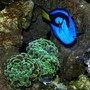 corals inverts - euphyllia ancora - hammer / anchor coral stocking in 170 gallons tank - A vivid Blue Tang next to an Anchor Coral.