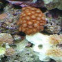 corals inverts - euphyllia paradivisa - frogspawn coral stocking in 55 gallons tank - Corals and Polyps