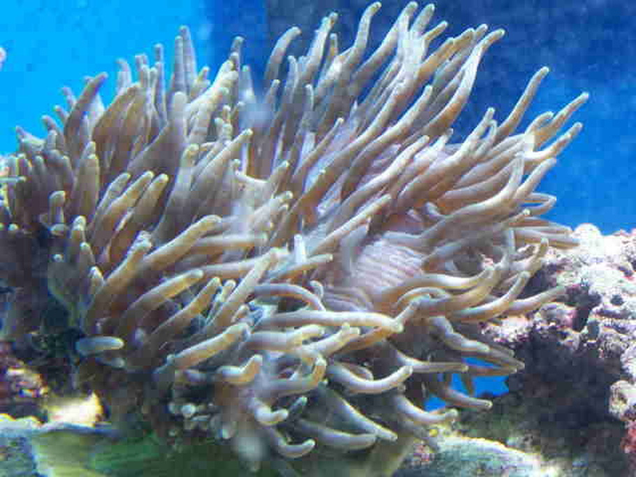 Guide For Keeping Anemones In A Reef Tank Ratemyfishtank