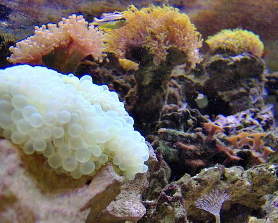 corals inverts - plerogyra sinuosa - bubble coral stocking in 36 gallons tank - new bubble tip anemone