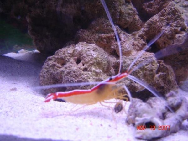 corals inverts - lysmata amboinensis - scarlet skunk cleaner shrimp stocking in 75 gallons tank - Cleaner Skunk Shrimp