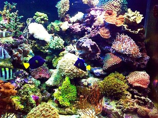 corals inverts - plerogyra sinuosa - bubble coral, white stocking in 180 gallons tank - it just hard coral , i hipe you liket