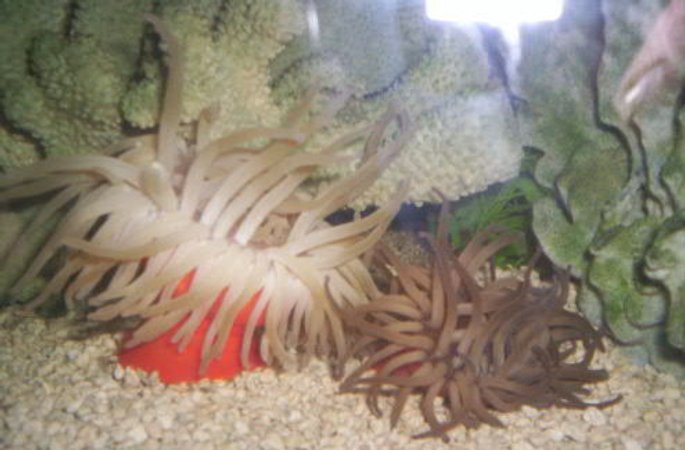 corals inverts - condylactis gigantea - condy anemone stocking in 125 gallons tank - 2 Condy Anenomes