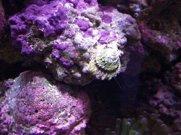 corals inverts - astraea tecta - astraea turbo snail stocking in 20 gallons tank - PURPLE PINK CORALINE ALGA AND ASTREA SNAIL AT WORK...