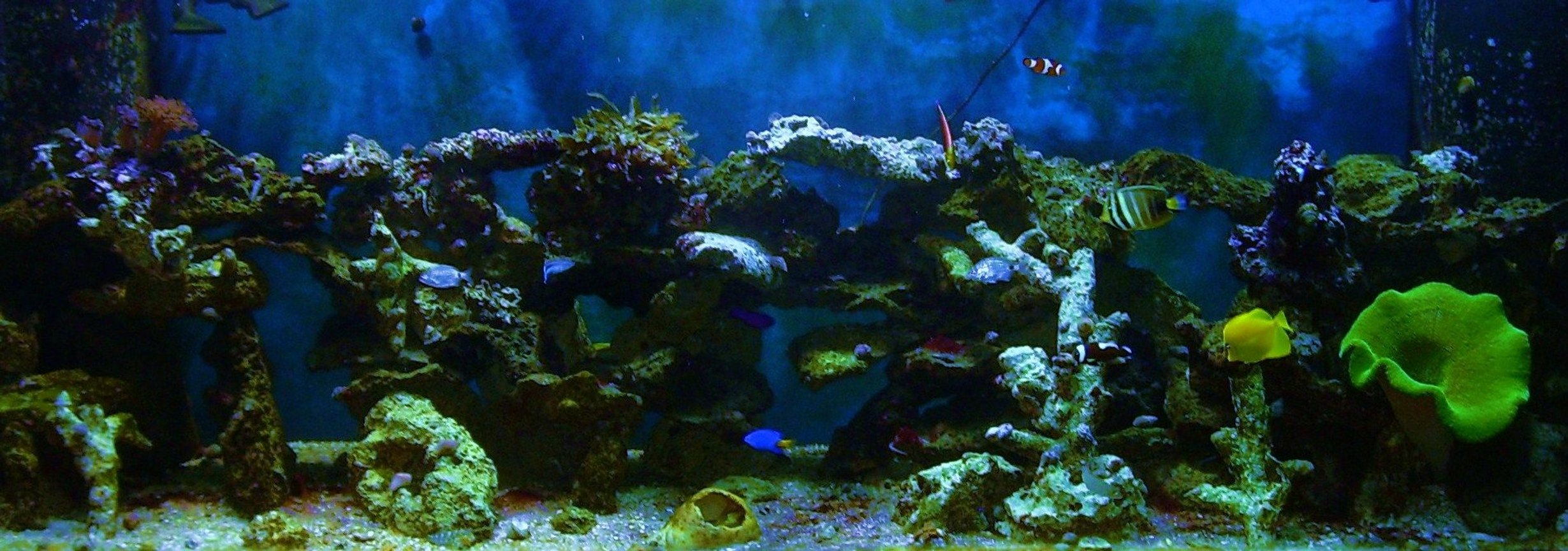 180 gallons saltwater fish tank (mostly fish, little/no live coral) - 180g 1 yellow tang , 1 powder blue tang , 1sailfin tang , 1 docter tang , 3 lawnmowers , 1 radiant wrasse , 1 yellow wrasse , 1 cleaner wrasse , 2 false perculer clowns , 2 saddleback clowns , 1 strawberry basslet , 1 yellow tail blue damsel ,1 purple and yellow damsel ,100s of snails and crabs ,1 sand sifting star , 1 serpent star ,1 green carpet , 1 coral banded shrimp , 1 pepper mint shrimp