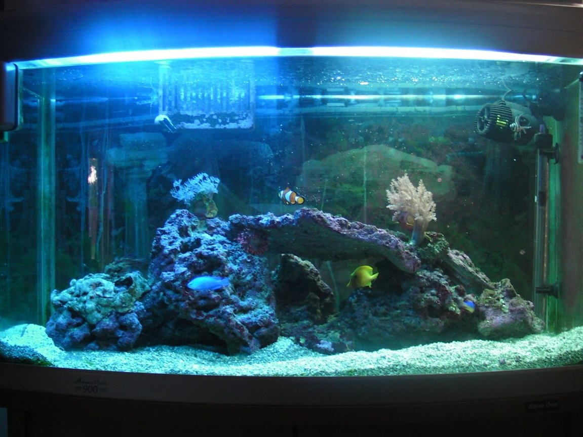 46 gallons saltwater fish tank (mostly fish, little/no live coral) - 200 Lt Tank. Contains:Coral beauty angelfish, Royal gramma, Banggai cardinal, Percula clown, Blue damsel, Yellowtail damsel, Mandarin, Yellow tang, Bubble-tip anemone, live rock, couple of corals.