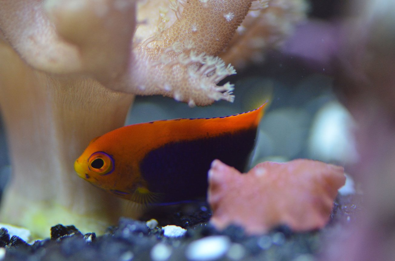 29 gallons saltwater fish tank (mostly fish, little/no live coral) - Flameback Angel