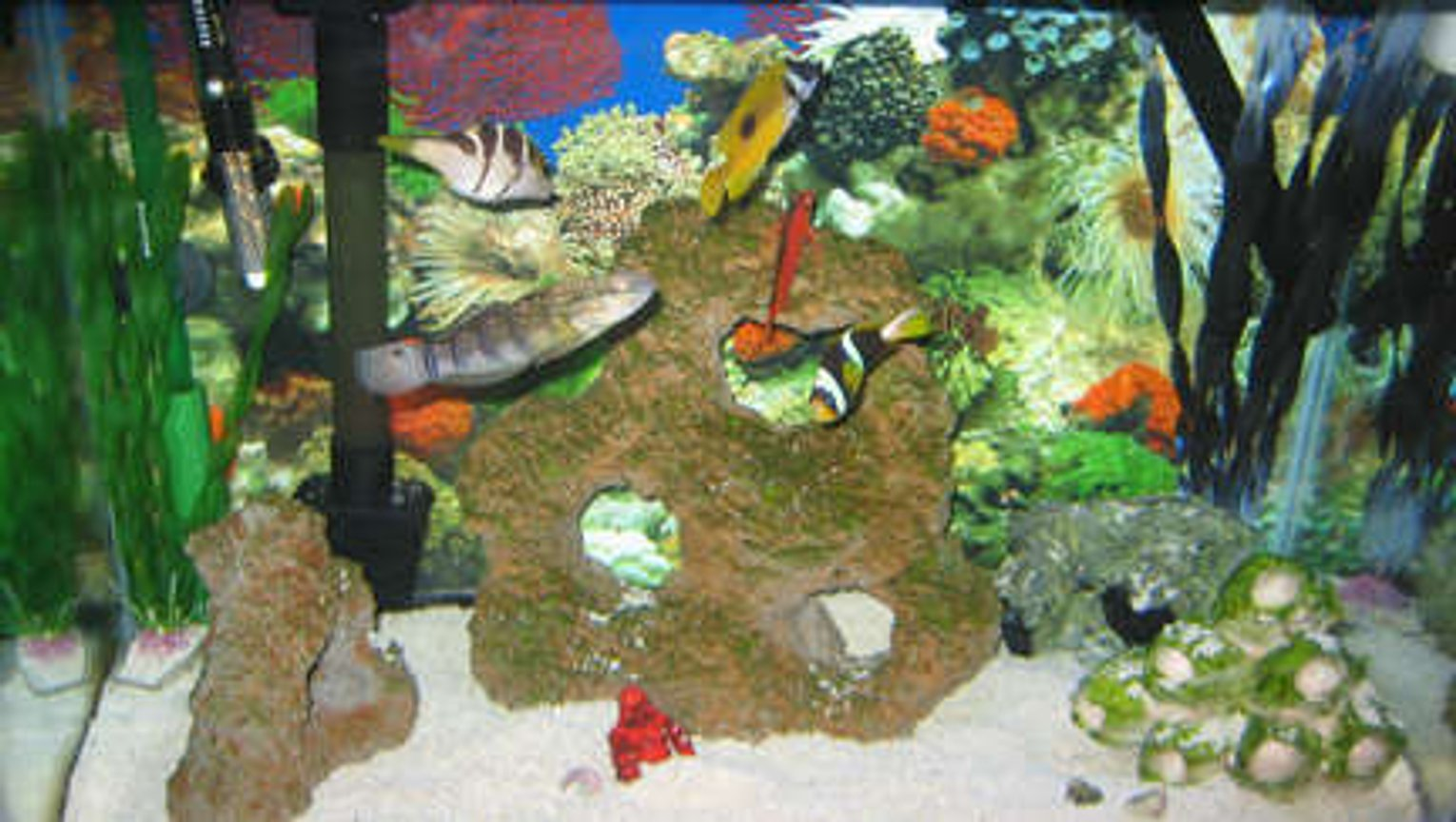 38 gallons saltwater fish tank (mostly fish, little/no live coral) - tank 2 all fish