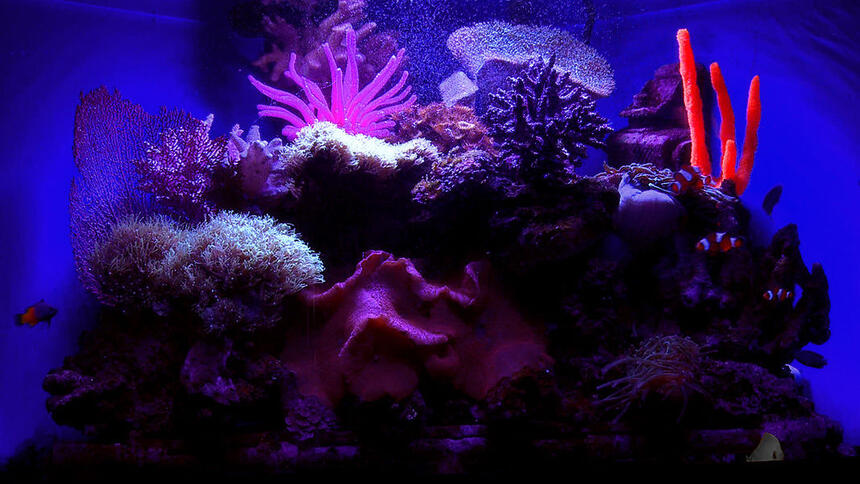 Rated #3: 29 Gallons Saltwater Fish Tank - Under the black light, custom homemade resin coral pieces glow. You can faintly see a couple of clowns, a yellowtail blue damsel, and a yellow tang swimming along.