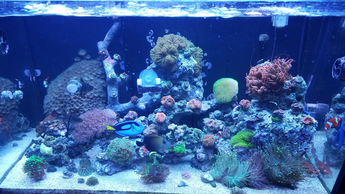 Rated #41: 30 Gallons Saltwater Fish Tank - Started back up a year ago. Red sea 250 tank.