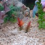 75 gallons saltwater fish tank (mostly fish, little/no live coral) - my fire fin goby