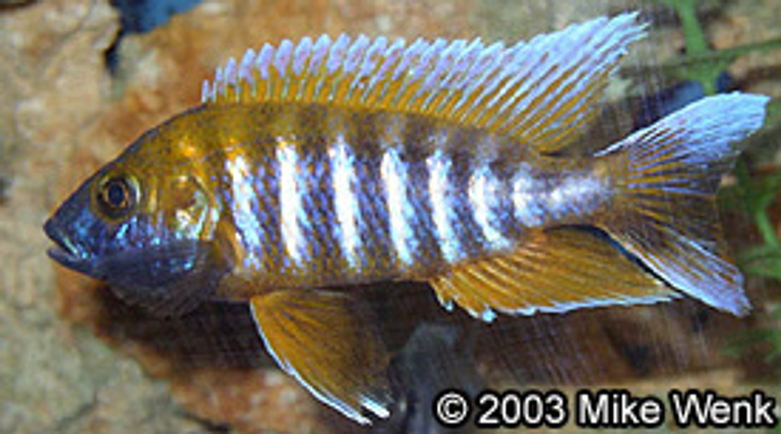"freshwater fish - aulonocara jacobfreibergi - african butterfly peacock - 5"" African Cichlid - (Aulonocara Jacobfreibergi) in 72 Gal bowfront."