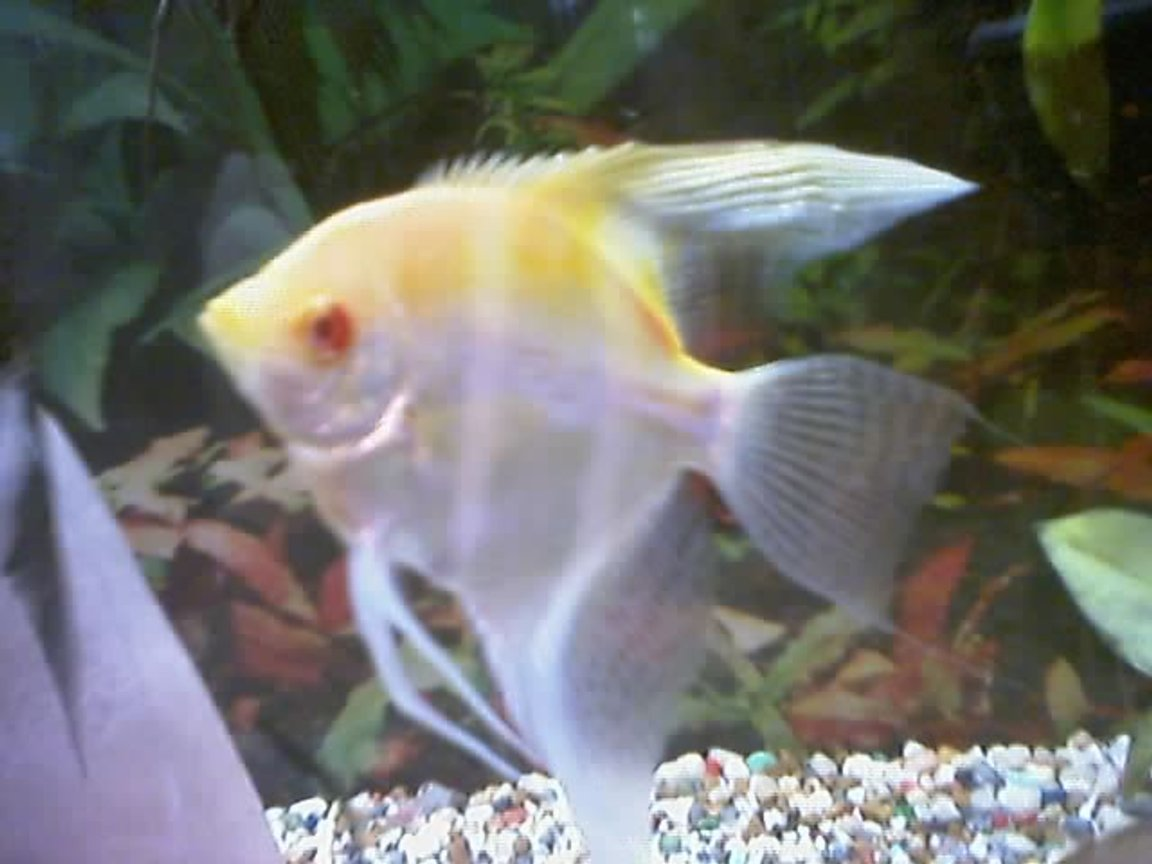 freshwater fish - pterophyllum sp. - albino angel - I have about 75 freshwater tanks. I breed Angelfish of all varietys, albino plecos, and many types of guppies. I am also currently breeding red brick and red velvet swords.