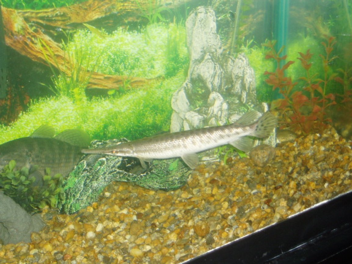 freshwater fish - xenentodon cancila - needle nose gar