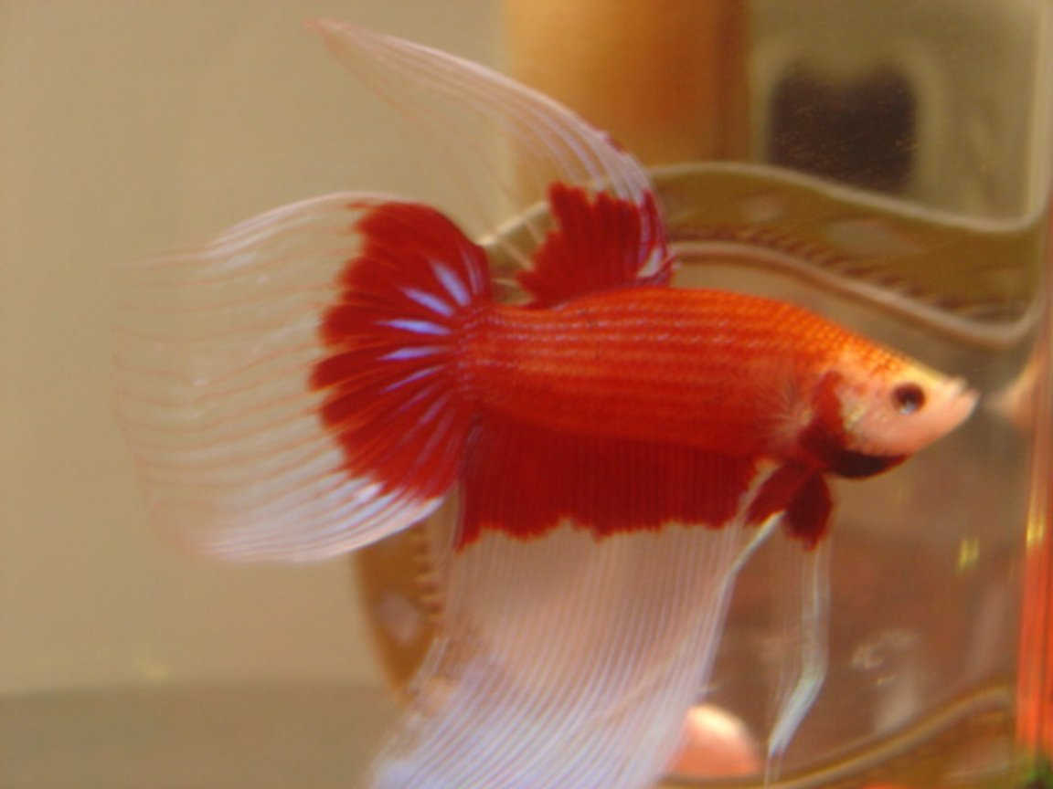 freshwater fish - betta splendens - crown tail betta
