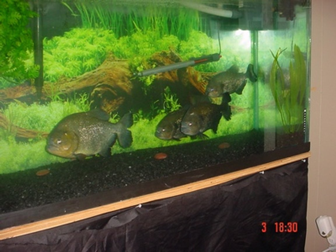 "freshwater fish - piaractus brachypomum - red belly pacu - 125 Gallon 4 Caribe ranging from 9.5""TL.-12.5""TL."