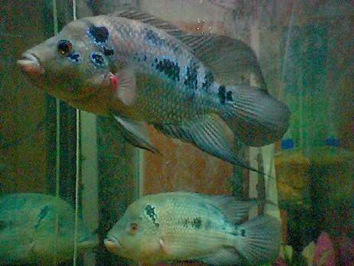 freshwater fish - aequidens rivulatus - green terror stocking in 40 gallons tank - flowerhorn