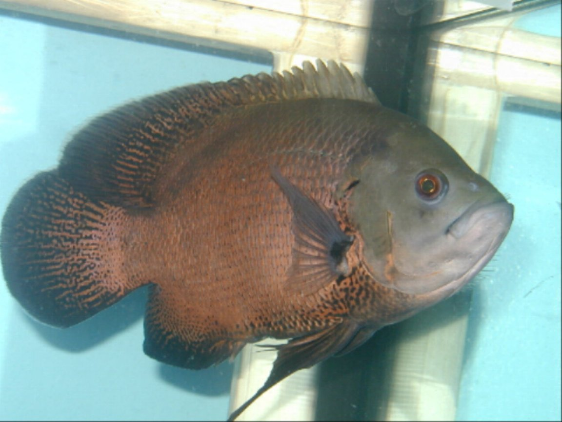 freshwater fish - astronotus ocellatus - red oscar stocking in 120 gallons tank - my 12 inch oscar