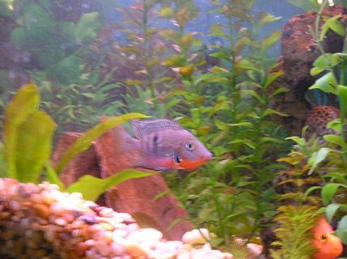 freshwater fish - thorichthys meeki - firemouth cichlid stocking in 55 gallons tank - Firemouth Cichlid