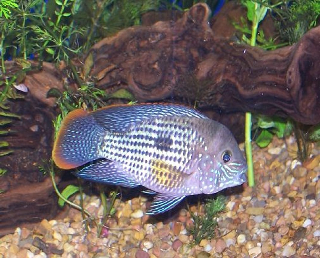 freshwater fish - aequidens rivulatus - green terror stocking in 125 gallons tank - male green terror