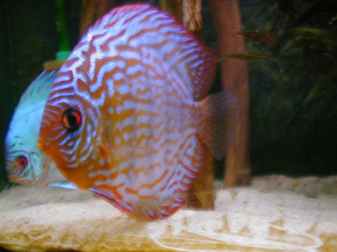 freshwater fish - symphysodon sp. - red leopard discus stocking in 100 gallons tank - 8 years ago... new picture follow but not from diskus