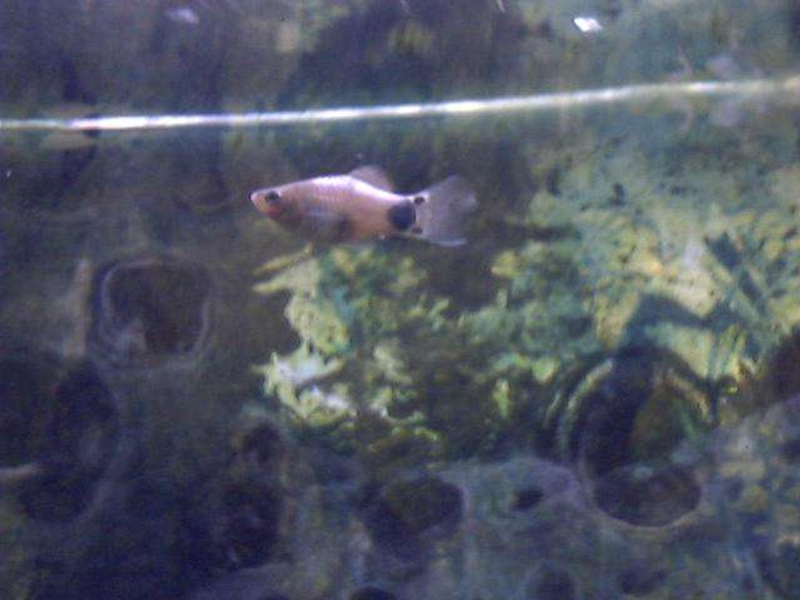 freshwater fish - xiphophorus maculatus - platy stocking in 91 gallons tank - My platy swimming at th top of the tank