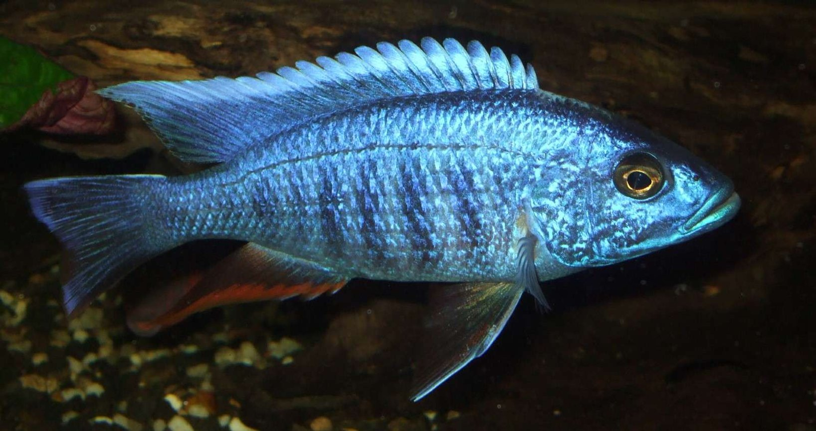 freshwater fish - sciaenochromis ahli - electric blue cichlid stocking in 90 gallons tank - electric blue also killed by idiot