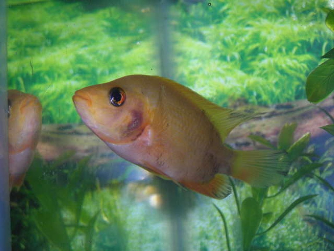 freshwater fish - amphilophus labiatus - red devil stocking in 50 gallons tank - here is my red devil when he was 4 inches. he is now 6 but still the same looking