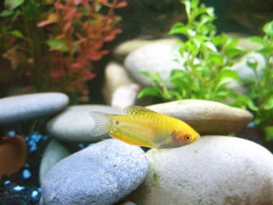 freshwater fish - trichogaster trichopterus - gold gourami stocking in 24 gallons tank - Gold Gourami