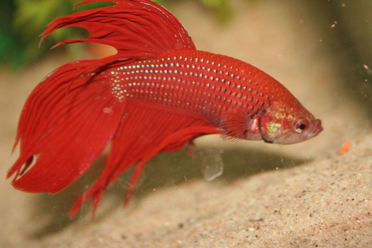 freshwater fish - betta splendens - betta - male stocking in 1 gallon tank - wanted for the murder of bob and leif