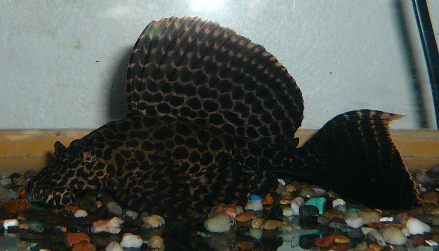 freshwater fish - glyptoperichthys gibbiceps - sailfin pleco (l-83) - My Sailfin Gibby as a youngster